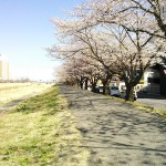 桜川沿いの桜