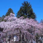 六地蔵寺の枝垂れ桜