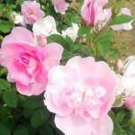 茨城県フラワーパークのバラ