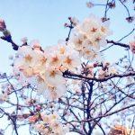 水戸市桜川沿いの桜