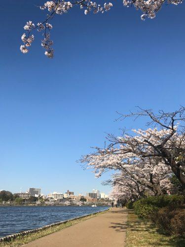 水戸市千波湖の桜
