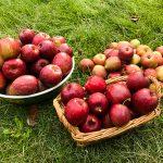 ヒメリンゴの収穫
