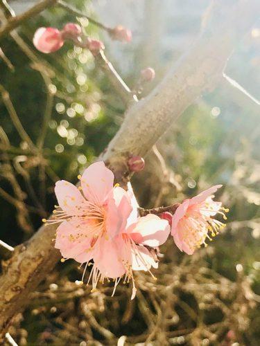 梅 水戸の梅まつり