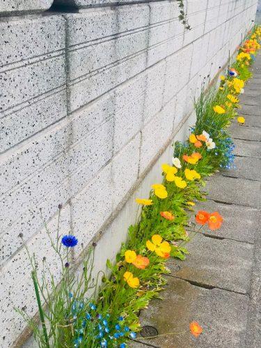 春 ポピー ネモフィラ 矢車菊